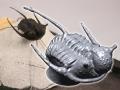thumbs trilobite 2 Wrap